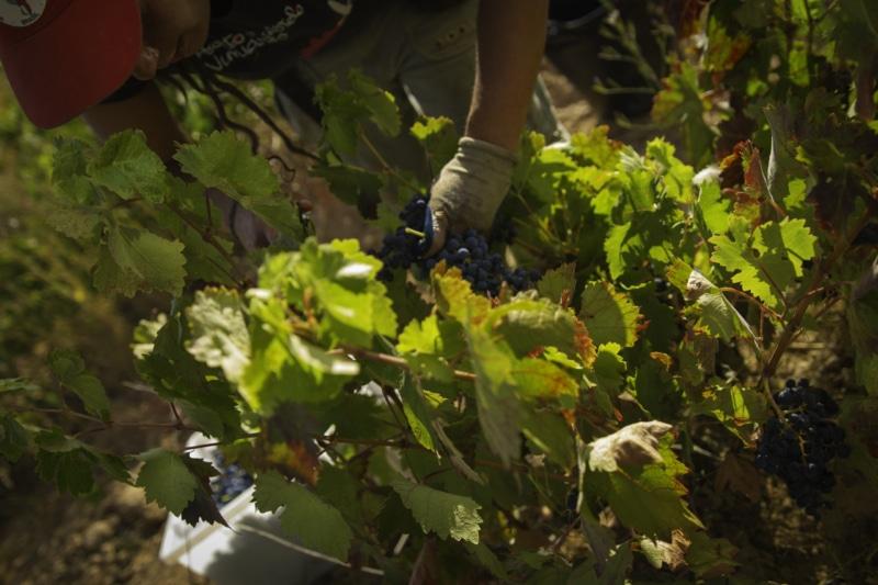 madurar uvas